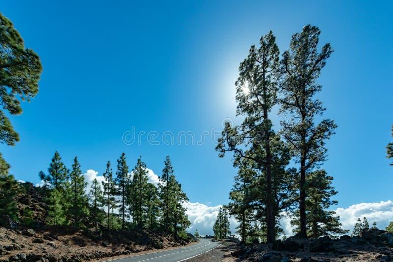 Bosque canario verde del pino y campos de lava volcánicos en la montaña más alta en el soporte Teide, Tenetife, Canarias, España  imágenes de archivo libres de regalías
