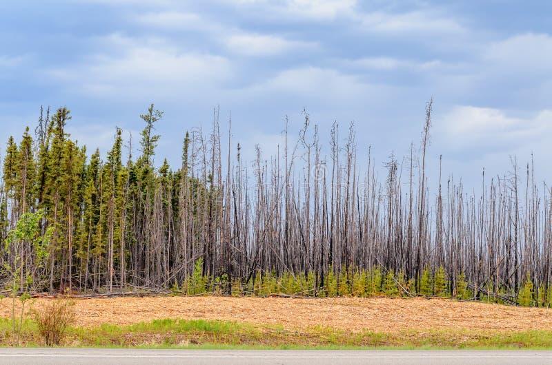 Bosque chamuscado, árboles altos con los troncos carbonizados y corteza, verde imagen de archivo libre de regalías