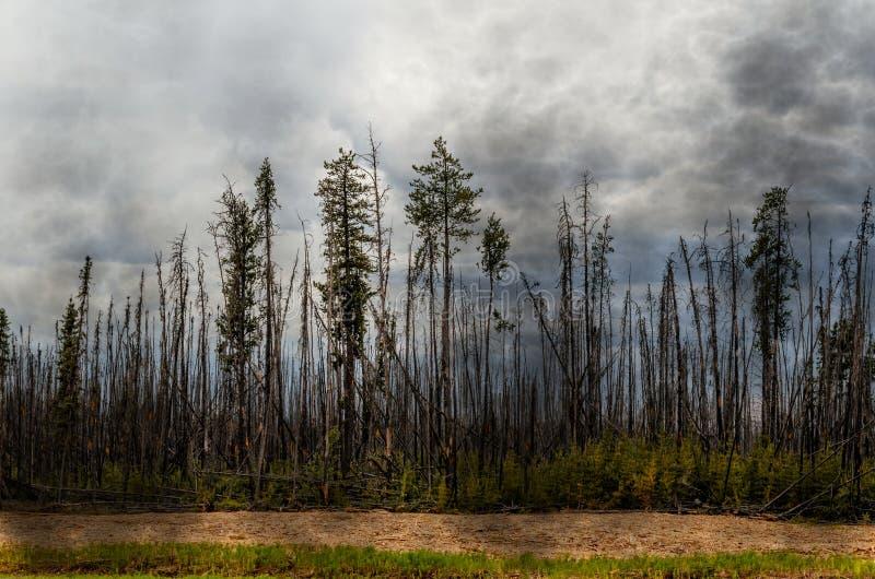 Bosque chamuscado, árboles altos con los troncos carbonizados y corteza, verde foto de archivo