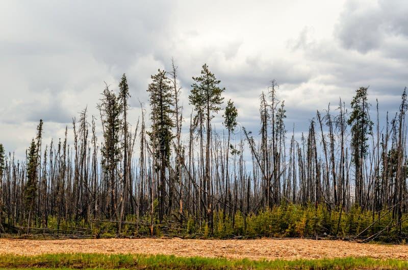 Bosque chamuscado, árboles altos con los troncos carbonizados y corteza, verde fotos de archivo