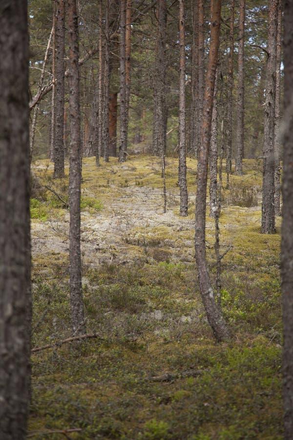 Bosque claro del pino fotografía de archivo libre de regalías