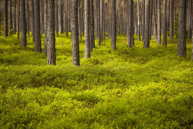 Bosque claro del pino imagen de archivo