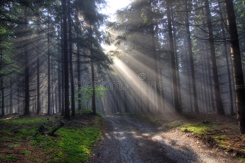 Bosque conífero de la mañana en niebla fotografía de archivo