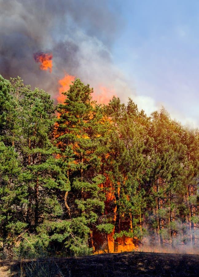 Bosque conífero en fuego foto de archivo libre de regalías