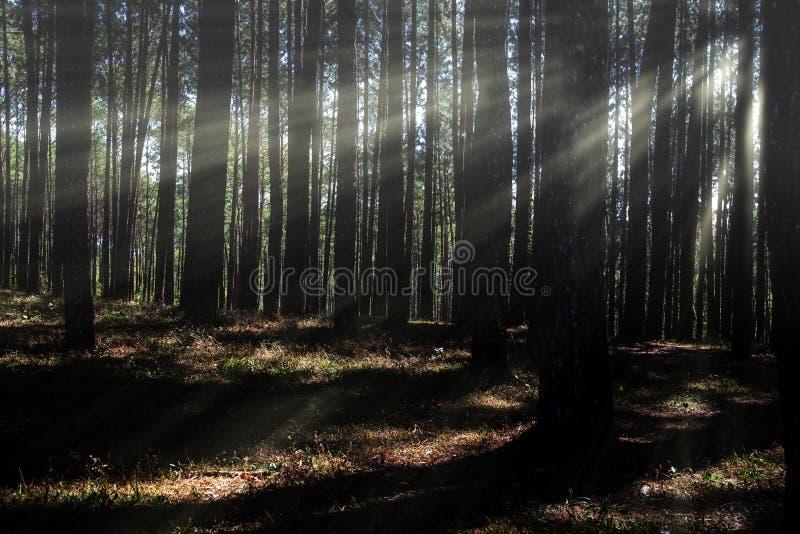 Bosque conífero hecho excursionismo por el sol naciente fotos de archivo libres de regalías
