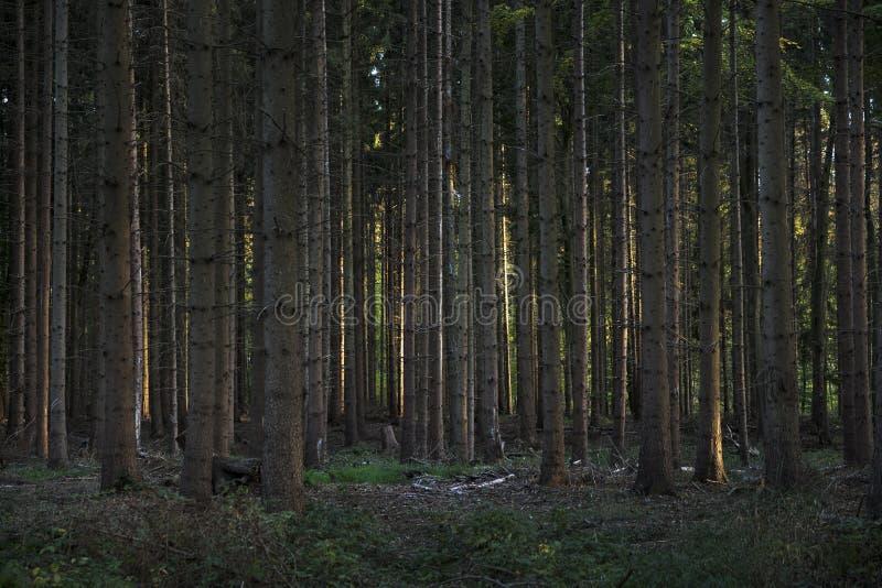 Bosque conífero oscuro con los árboles de cerca plantados y la luz lateral fotografía de archivo libre de regalías