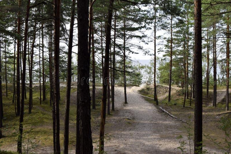 Bosque conífero, pinos, camino al mar, verano, día imagenes de archivo