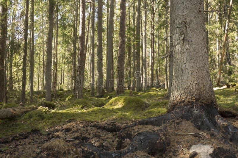 Bosque conífero quemado después de un incendio forestal fotografía de archivo