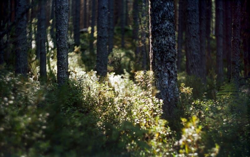 Bosque conífero salvaje en Rusia fotografía de archivo libre de regalías