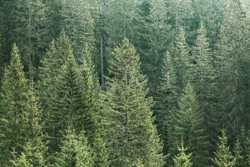Bosque conífero verde con los árboles viejos de la picea, del abeto y de pino foto de archivo libre de regalías