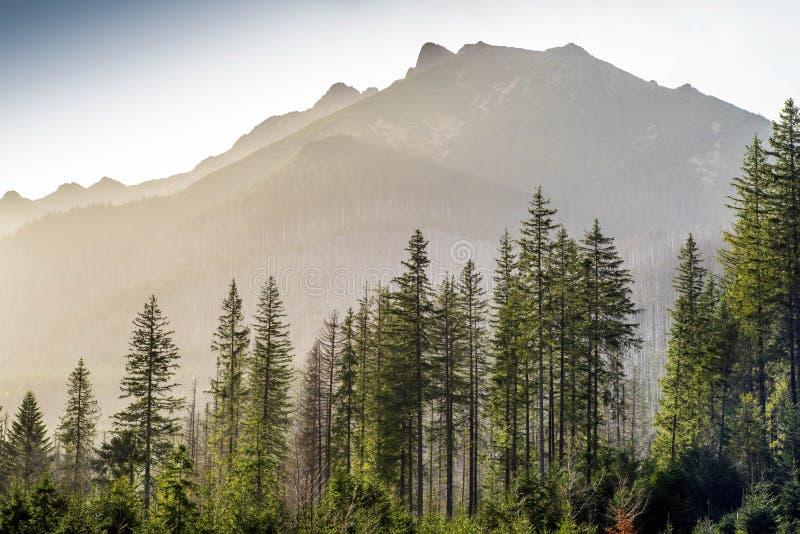 Bosque conífero verde y montañas brumosas fotografía de archivo
