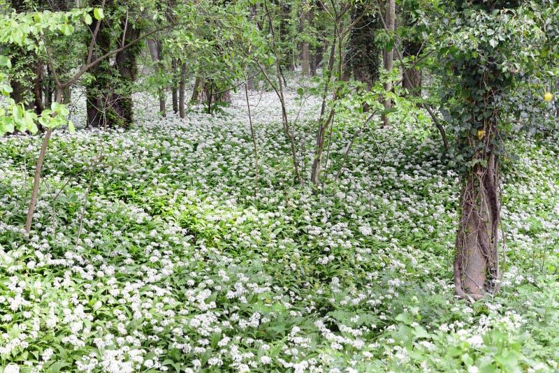 Bosque con las plantas del ramson del ajo salvaje fotos de archivo
