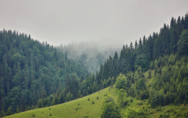 Bosque con los árboles de la conífera en niebla imagenes de archivo