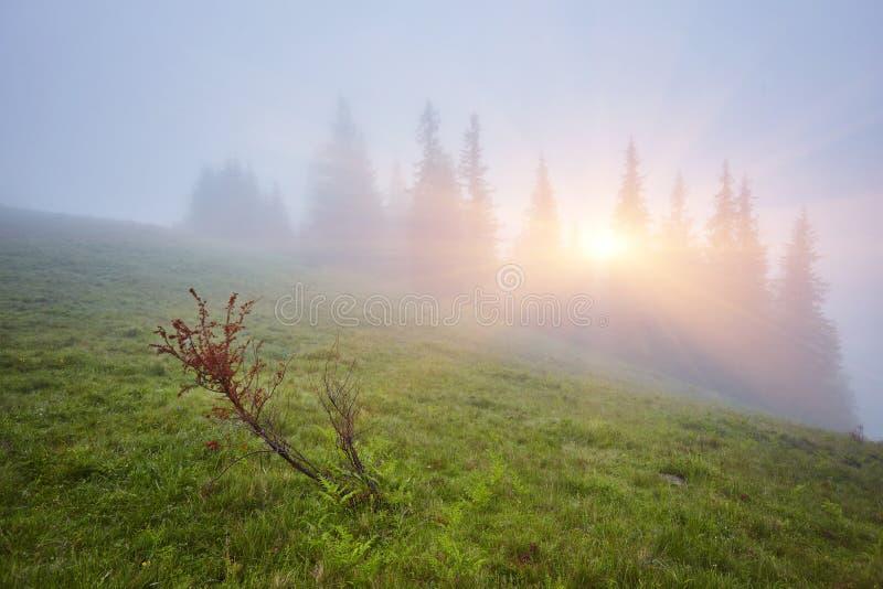 Bosque con los árboles de la conífera en niebla imagen de archivo