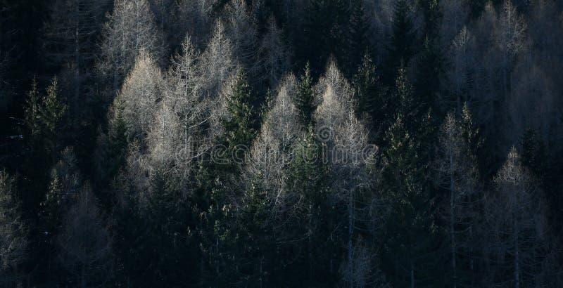 Bosque con los abetos, alerces fotos de archivo
