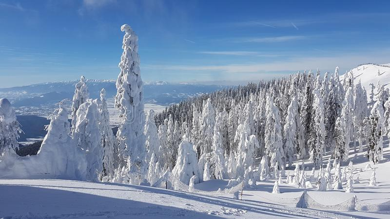 Bosque congelado del abeto en los montains fotos de archivo libres de regalías