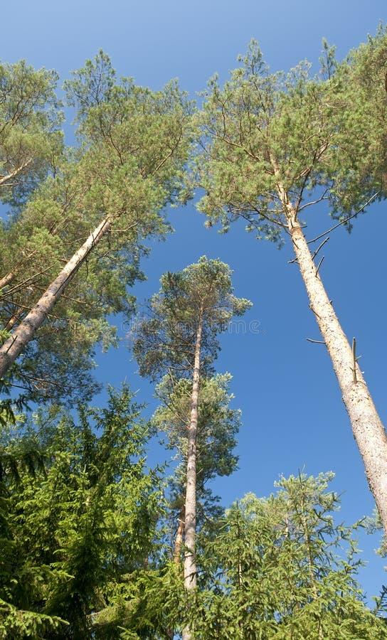 Bosque contra el cielo azul foto de archivo