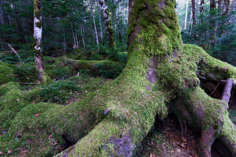 Bosque cubierto de musgo fotografía de archivo