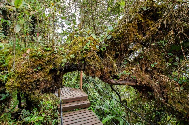 Bosque cubierto de musgo de Gunung Brinchang, Cameron Highlands imagenes de archivo