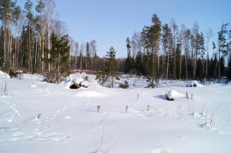 Bosque cubierto en nieve y huella fresca fotos de archivo