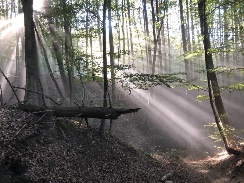 Bosque cubierto en rayos de sol imagen de archivo libre de regalías