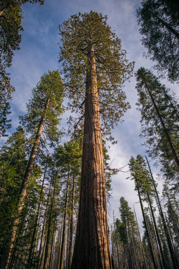 Bosque da sequoia gigante imagens de stock royalty free