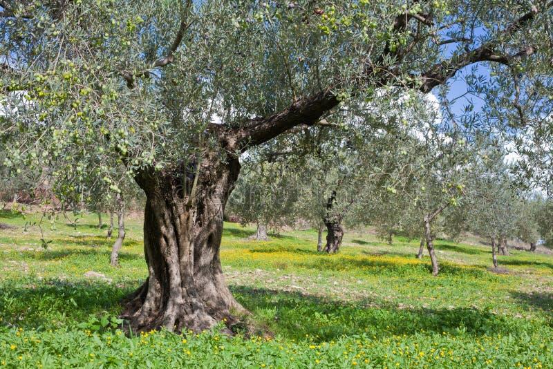 Bosque das oliveiras fotografia de stock