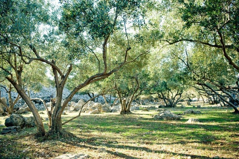 Bosque das oliveiras foto de stock