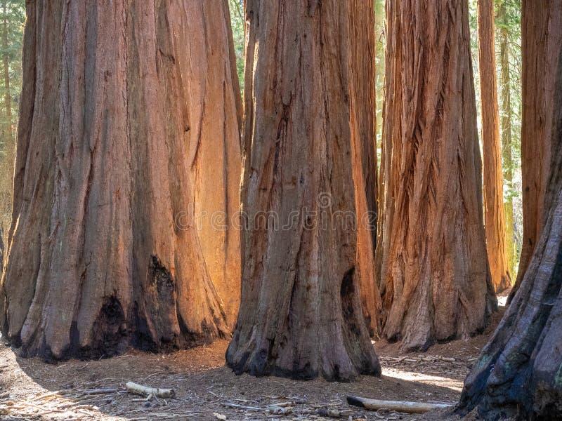 Bosque de árvores da sequoia gigante foto de stock