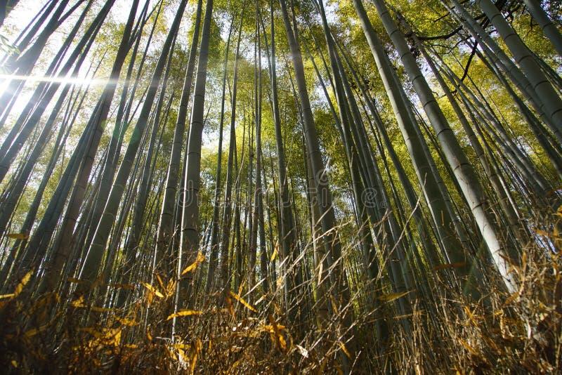 Bosque de Arashiyama Bambou imagenes de archivo