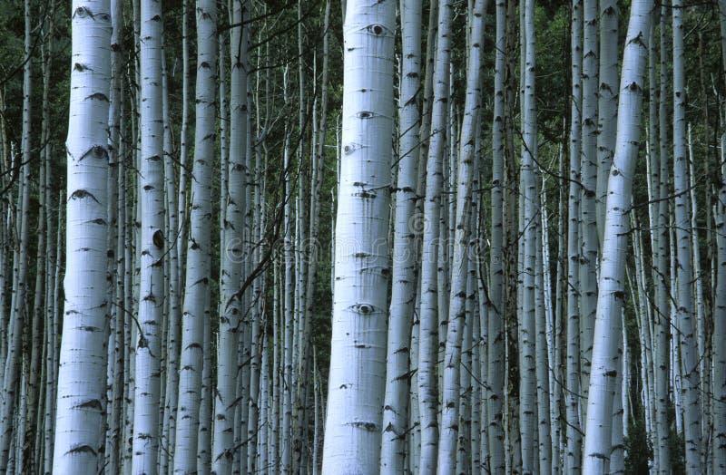 Bosque de Aspen em montanhas rochosas fotografia de stock