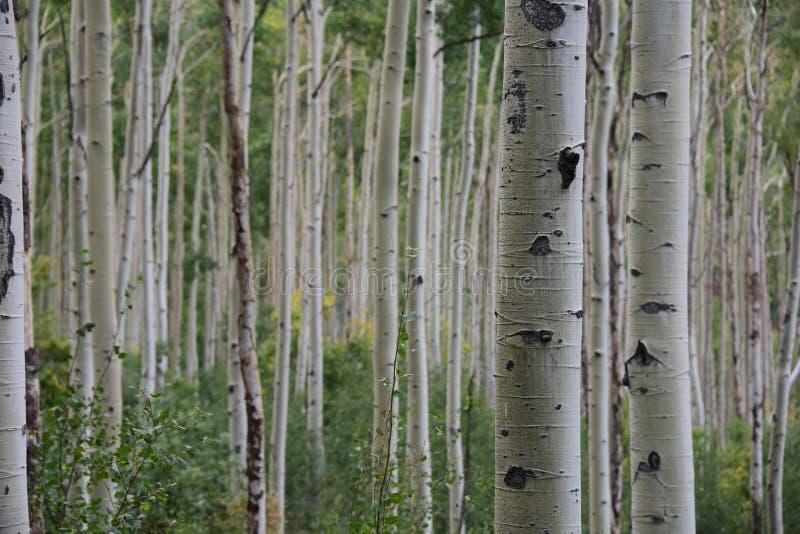 Bosque de Aspen en Colorado imagenes de archivo