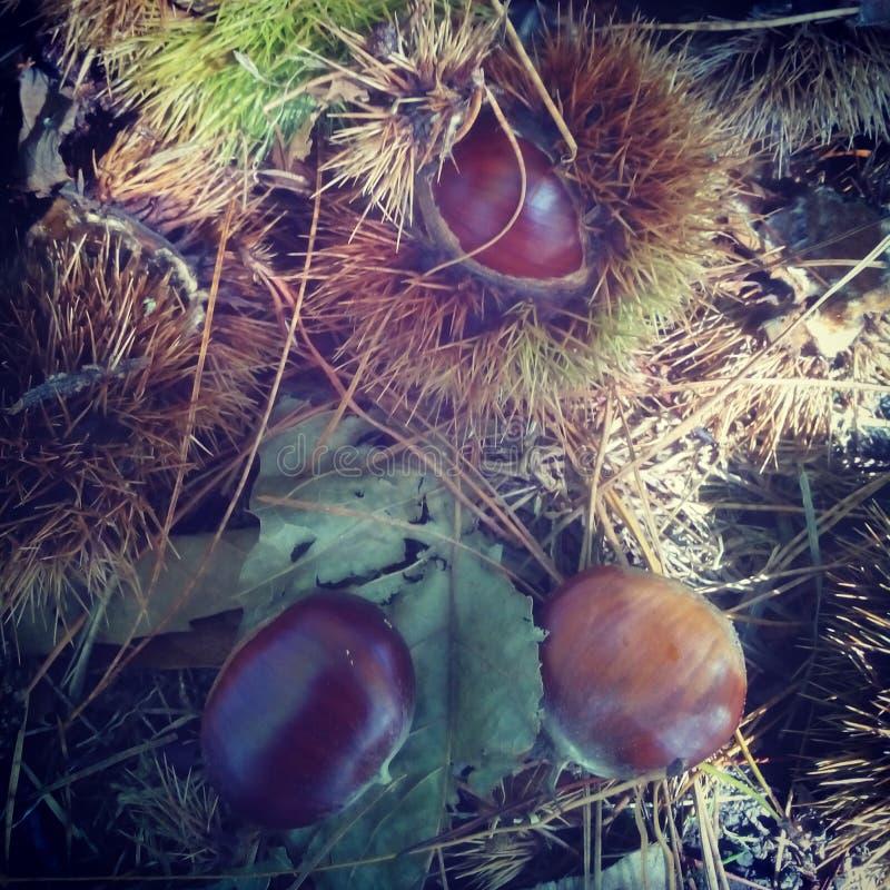 Bosque de Autumn Chestnut imagen de archivo