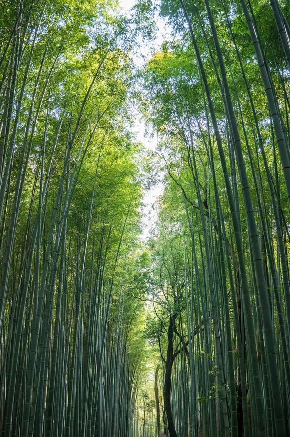 Bosque de bambú imágenes de archivo libres de regalías
