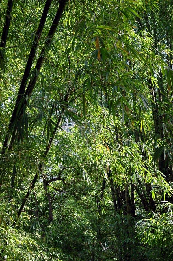 Bosque de bambú imagen de archivo libre de regalías