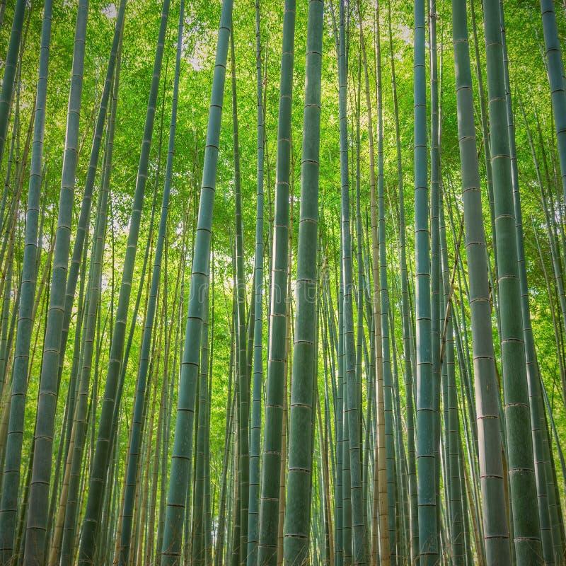 Bosque de bambú de Arashiyama, Japón fotografía de archivo
