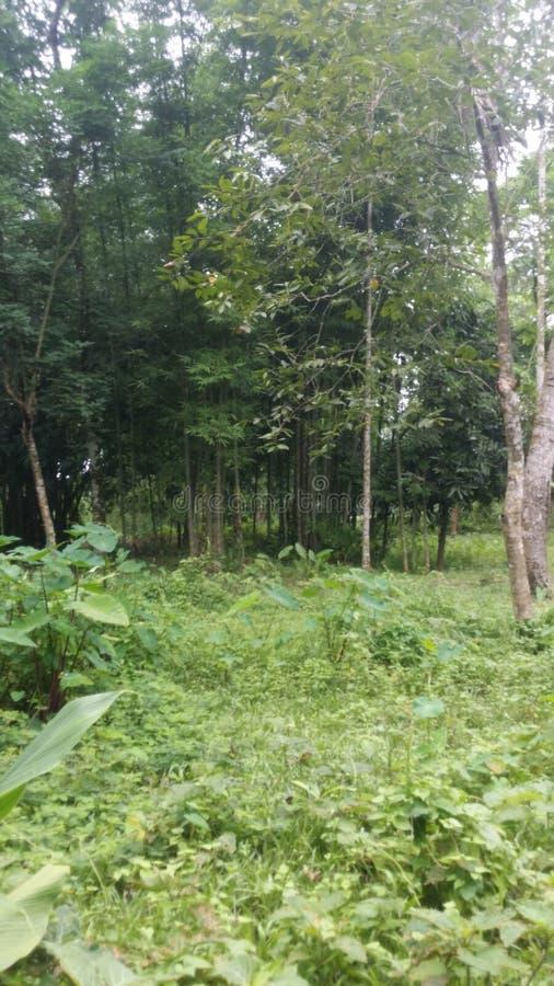Bosque de bambú del árbol imagenes de archivo