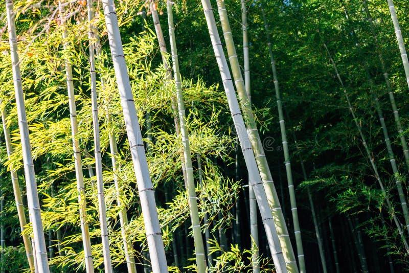 Bosque de bambú del templo de Tenryuji en Kyoto, Japón fotos de archivo