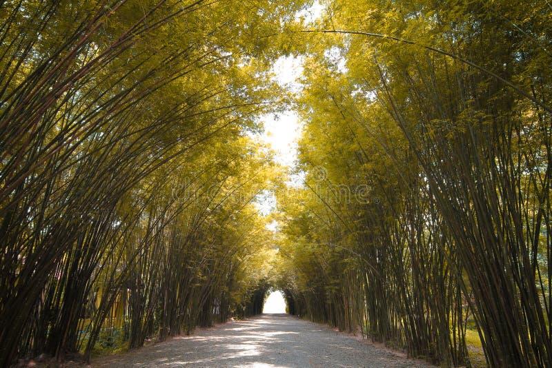 Bosque de bambú del tono del otoño en Tailandia fotos de archivo libres de regalías