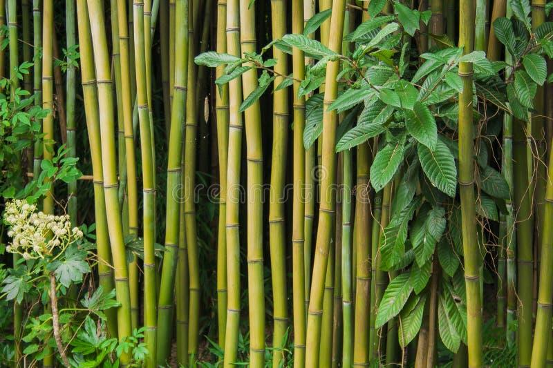 Bosque de bambú en China chengdu imagen de archivo