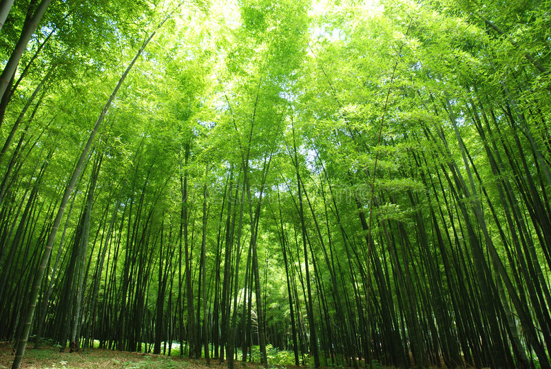 Bosque de bambú fresco imagenes de archivo