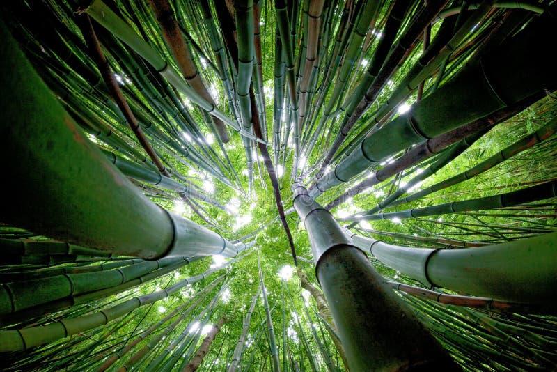 Bosque de bambú maui imagen de archivo libre de regalías
