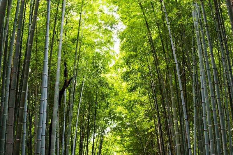 bosque de bambú para el fondo de la naturaleza imagenes de archivo