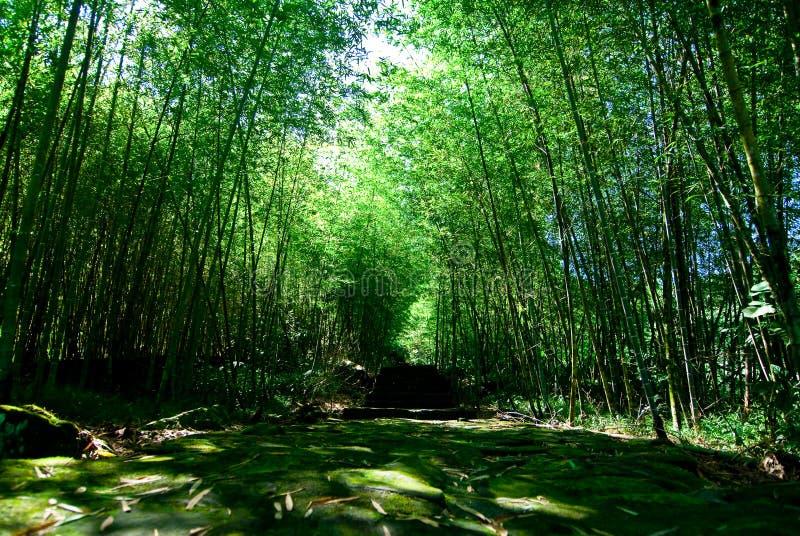 Bosque de bambú verde fotografía de archivo