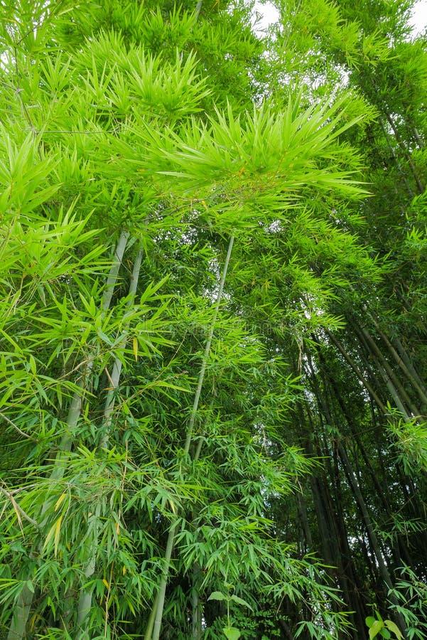 Bosque de bambú verde fresco fotografía de archivo libre de regalías