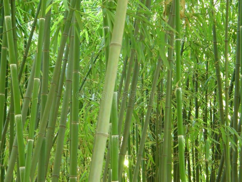 Bosque de bambu. imagens de stock