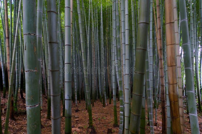 Bosque de bambu famoso em Arashiyama, Kyoto fotografia de stock