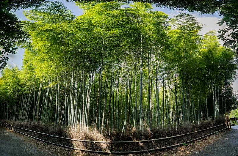 Bosque de bambu famoso em Arashiyama, Kyoto foto de stock