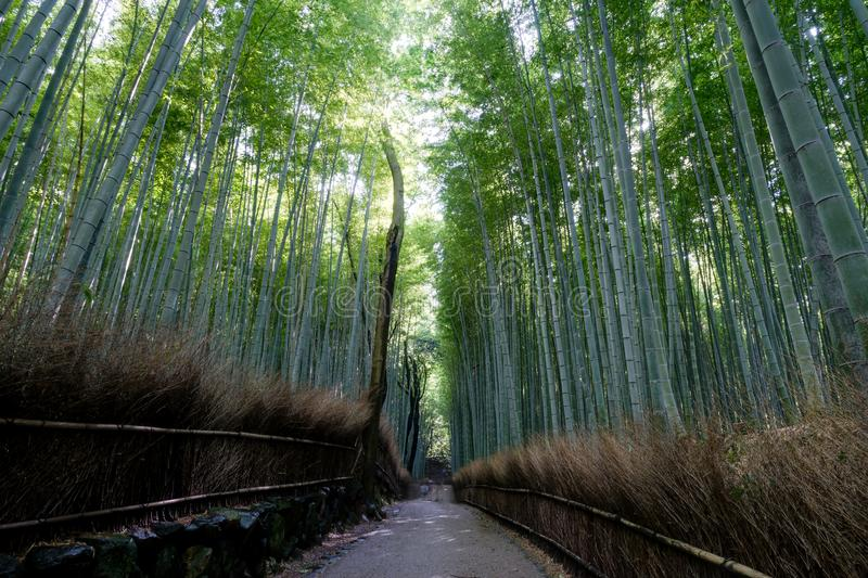 Bosque de bambu famoso em Arashiyama, Kyoto fotografia de stock royalty free