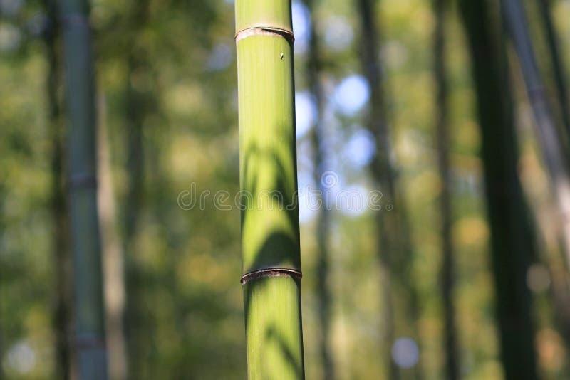 Bosque de bambu famoso em Arashiyama, Kyoto - Japão fotografia de stock